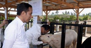 Presiden Tinjau Proyek Peternakan dan Pertanian di Desa Parsingguran