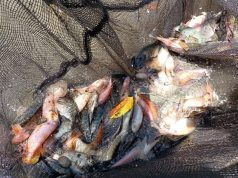 "Penerima Manfaat Balai ""Paramita"" Panen dan Olah Masakan Ikan Nila"